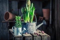 Plantas verdes recentemente crescidas em uma vertente de madeira velha Imagens de Stock Royalty Free