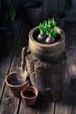 Plantas verdes Repotting em uma oficina de madeira velha Fotografia de Stock Royalty Free