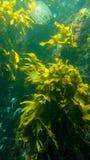 Plantas verdes subacuáticas en Nueva Zelanda imagen de archivo libre de regalías