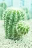 Plantas verdes suculentos pontudo do cacto Fotografia de Stock