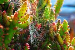 Plantas verdes suculentos pontudo do cacto com espinhos e teias de aranha foto de stock