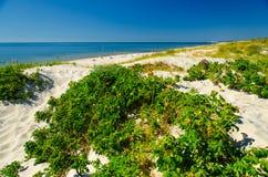 Plantas verdes y flores, escupitajo de Curonian, mar Báltico, Lituania fotografía de archivo libre de regalías