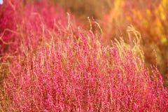 Plantas vermelhas Fotografia de Stock Royalty Free