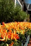 Plantas vermelhas e amarelas da pimenta Fotografia de Stock