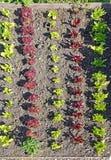 Plantas vermelhas e verdes novas da alface Imagem de Stock Royalty Free
