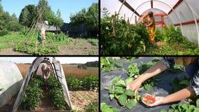 Plantas y cosecha del cuidado del jardinero de las mujeres en jardín Acorta el collage metrajes