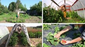 Plantas y cosecha del cuidado del jardinero de las mujeres en jardín Collage video almacen de metraje de vídeo