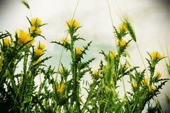 Plantas y espigas de trigo espinosas salvajes, vintage Foto de archivo