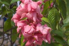 Plantas y flores de Mussenda Foto de archivo
