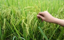 Plantas y mano de arroz Imágenes de archivo libres de regalías