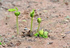 plantatamarindfrukt royaltyfria bilder