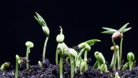 Plantatimelapsezoomen ut sköt 4K UHD lager videofilmer