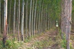 Plantating des Eukalyptus Lizenzfreie Stockbilder