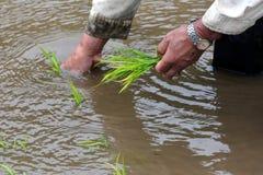 Plantation à l'ancienne de riz Image stock