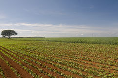 Plantation. A field plantation for a food production in central Brazil Royalty Free Stock Photos