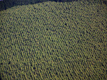 Plantation. A photo of the rows that a Wattle plantation forms Royalty Free Stock Photography
