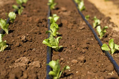 Plantation Royalty Free Stock Photo