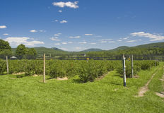 Plantation. A blueberry plantation with mountains in the background royalty free stock images
