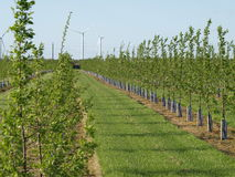 Plantation. With fruit trees against blue sky Stock Photos