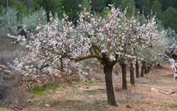 Plantation of almond tree Stock Photo