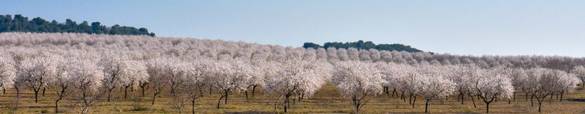plantation of almond trees plenty of white flowers in a spring day with a blue sky stock image