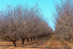 Plantation of Almond Trees. Stock Photo