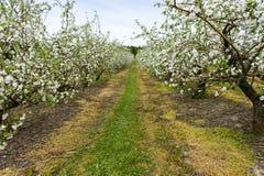 Plantation of apple`s trees royalty free stock photos