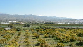 Plantation of avocados fruit tree stock footage