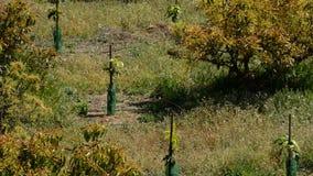 Plantation of avocados fruit tree stock video