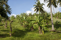 Plantation of Banana trees Stock Photo