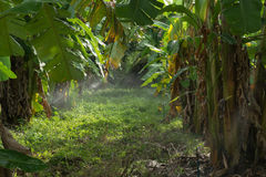 Plantation Of Banana Trees Royalty Free Stock Images