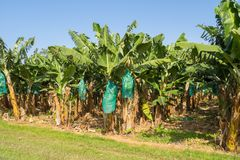 Plantation of bananas in Guadeloupe
