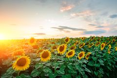A plantation of beautiful sunflowers during the sunset, which brightly comes from a beautiful buccaneer sky with fluffy clouds.  stock photography