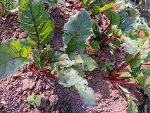 Plantation of beets Royalty Free Stock Photography