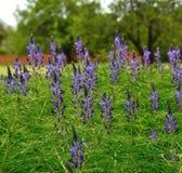 Plantation of blue lupine. Wild flowers of blue lupine Stock Image