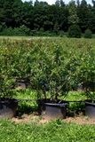 Plantation with blueberrys to the selfpicking Royalty Free Stock Images