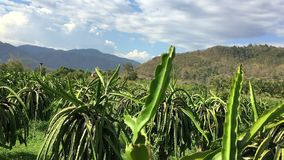 Plantation of cacti pitahaya on summer day in Asia. Big green leaves and branches of tropical plants pan motion camera. Sunny day in country. Hills in stock footage