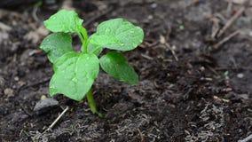 Plantation, chemical fertilizing for soil increased nutrient stock video