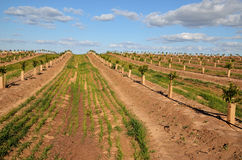 The plantation of citrus Royalty Free Stock Photos