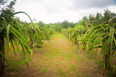Plantation in cloudy weather. Summer. Cloud stock photography
