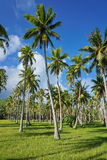 Plantation of coconut palm trees on grassy ground Stock Photo