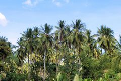 Plantation of coconut trees. Farm. Philippines. Royalty Free Stock Photography