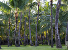 Plantation of coconut trees Royalty Free Stock Photography