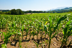 Plantation of Corn Royalty Free Stock Image