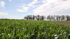 Plantation of corn in the Argentine countryside stock video