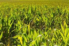 Plantation of Corn Stock Images