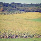 Plantation of Corn Royalty Free Stock Photos