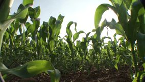 Plantation of corn seen from below stock video footage