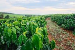 Plantation - crépuscule sur le paysage de plantation de café Image stock
