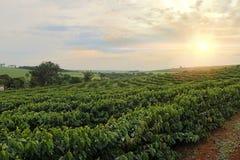 Plantation - crépuscule sur le paysage de plantation de café Photo stock